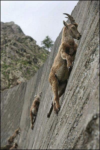 Climbing Goats